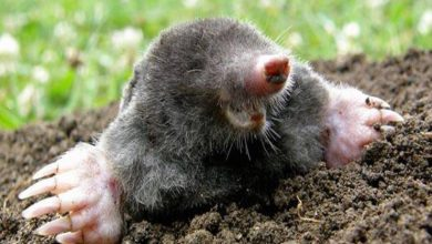 Photo of Is Mole Extermination Really That Successful?